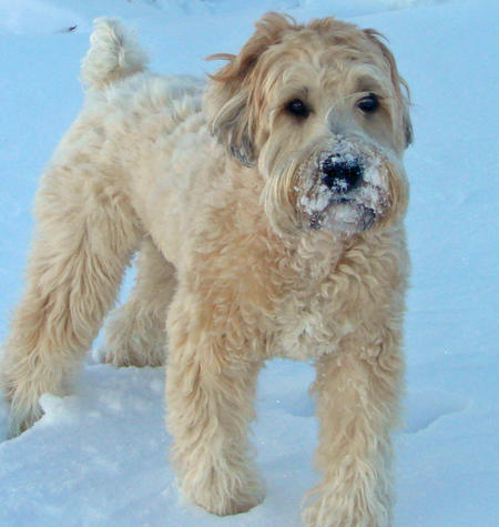 Buckeye the Wheaten Terrier Pictures 538701