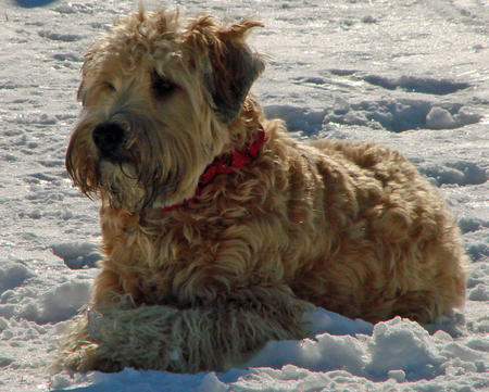 Buckeye the Wheaten Terrier Pictures 538702