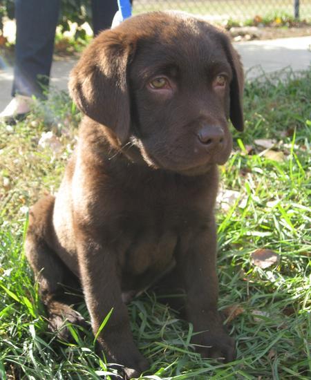 Buckley the Labrador Retriever Pictures 692352