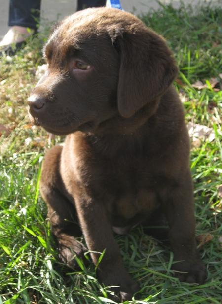 Buckley the Labrador Retriever Pictures 692353
