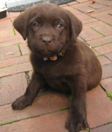 Buckley the Labrador Retriever Pictures 692355