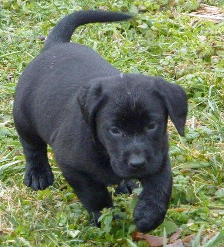 Buckshot the Labrador Retriever Pictures 957023