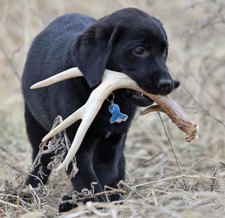 Buckshot the Labrador Retriever Pictures 957021