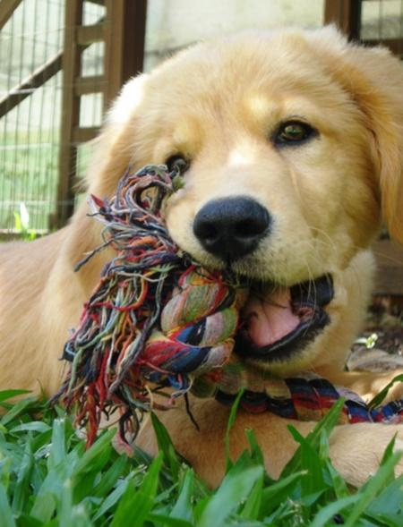 Buddha the Golden Retriever Pictures 495617