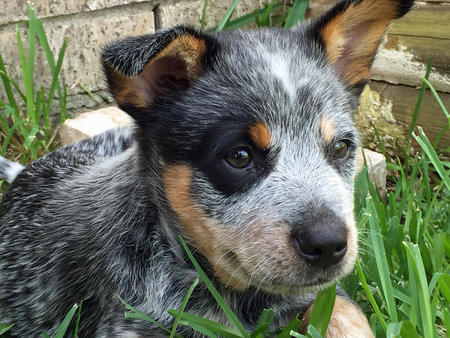 Buddy the Blue Heeler Pictures 1058923