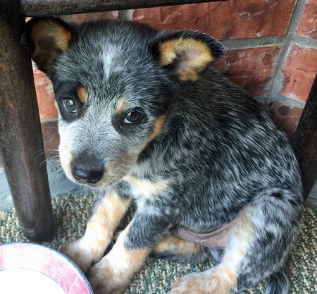 Buddy the Blue Heeler Pictures 1058925