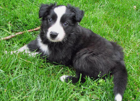Buddy the Border Collie  Pictures 409998