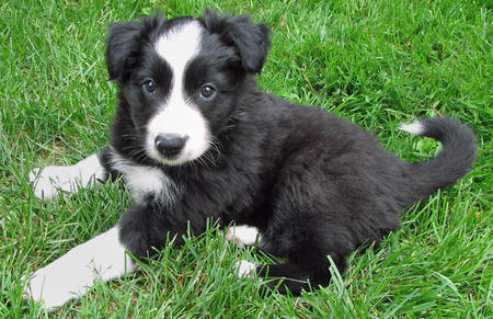 Buddy the Border Collie  Pictures 410001