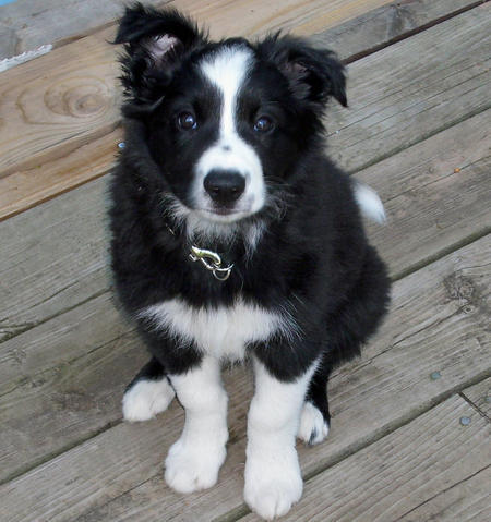 Buddy the Border Collie  Pictures 410004