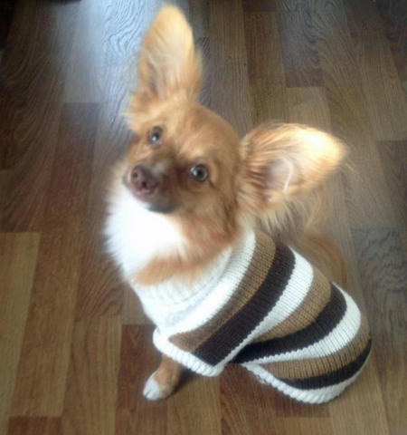 Buddy the Chihuahua Mix Pictures 943478