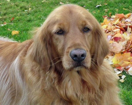 Buddy the Golden Retriever Pictures 823013