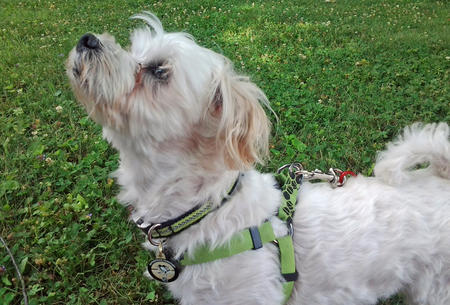 Buddy the Maltese  Pictures 908855