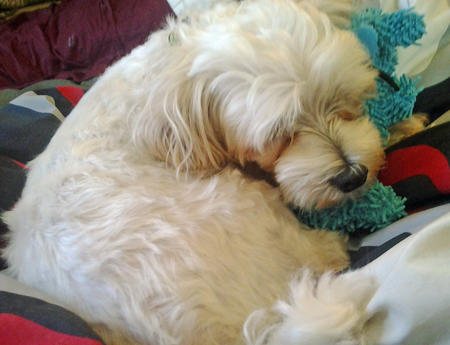 Buddy the Maltese  Pictures 908859
