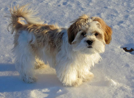 Buddy the Shih Tzu Mix Pictures 1012759