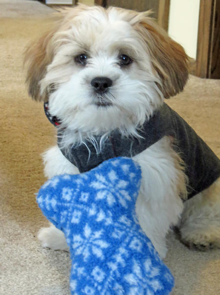 Buddy the Shih Tzu Mix Pictures 1012760