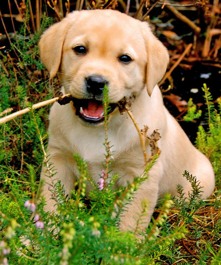 Buffy the Labrador Retriever Pictures 757604