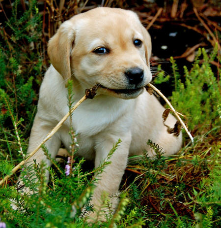 Buffy the Labrador Retriever Pictures 1053717