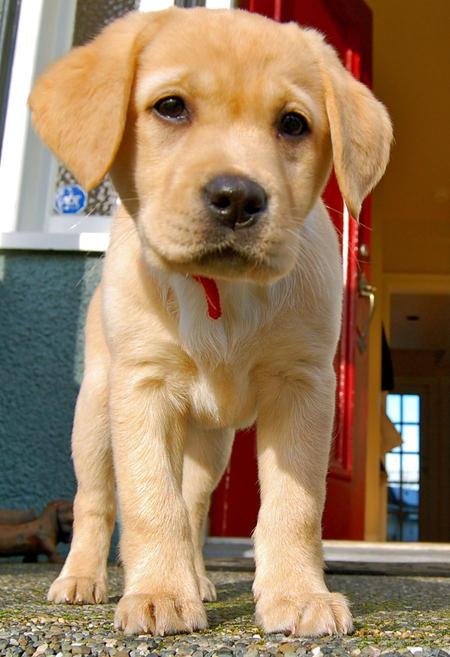 Buffy the Labrador Retriever Pictures 757607