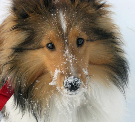 Buffy the Shetland Sheepdog Pictures 858947