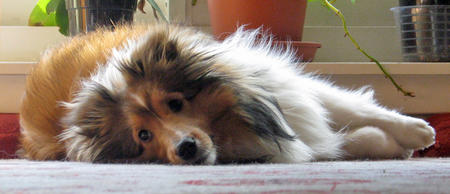Buffy the Shetland Sheepdog Pictures 858948