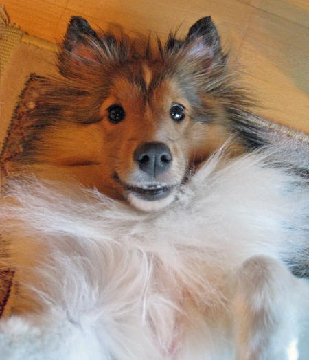 Buffy the Shetland Sheepdog Pictures 858949