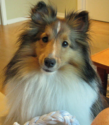 Buffy the Shetland Sheepdog Pictures 858945
