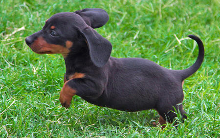 Bunny the Dachshund Pictures 629622
