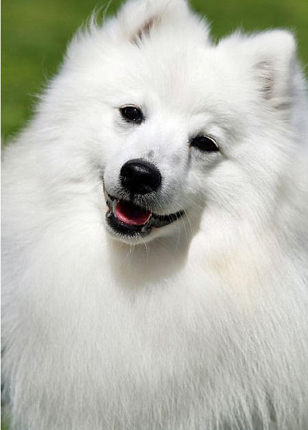 Bunny the Japanese Spitz Pictures 682293