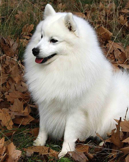 Bunny the Japanese Spitz Pictures 682295