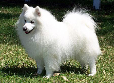 Bunny the Japanese Spitz Pictures 682296