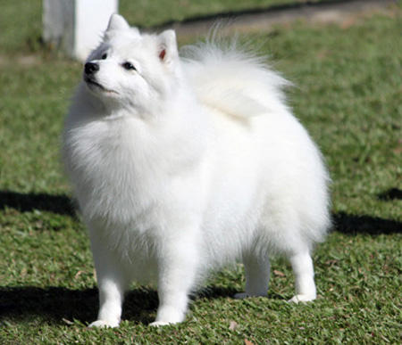 Bunny the Japanese Spitz Pictures 682298