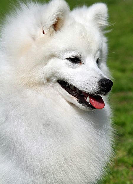 Bunny the Japanese Spitz Pictures 682292