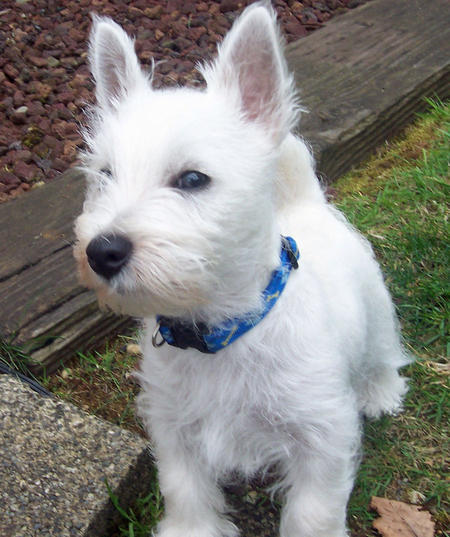 Burleigh the West Highland Terrier Pictures 899171