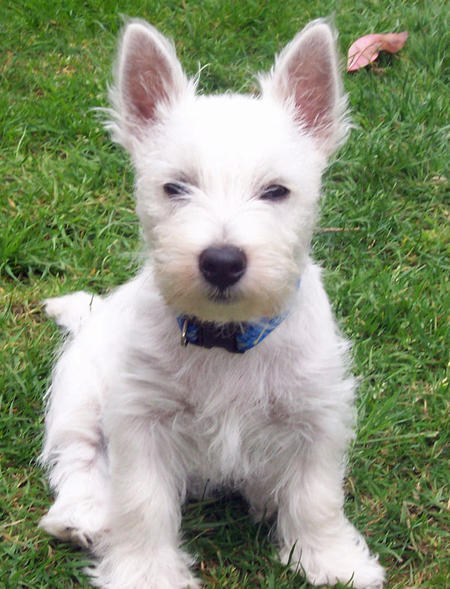 Burleigh the West Highland Terrier Pictures 899172
