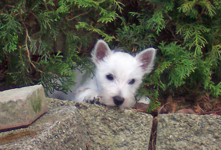 Burleigh the West Highland Terrier Pictures 899174