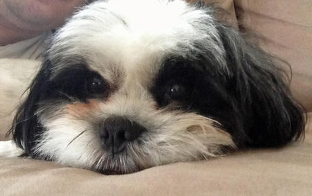 Burt the Shih Tzu Pictures 975061