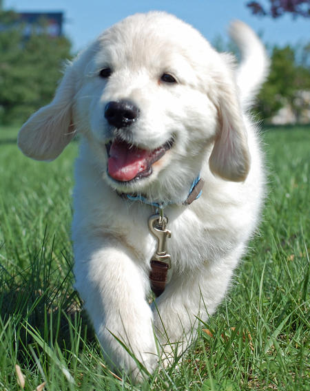 Burton the Golden Retriever Pictures 593573