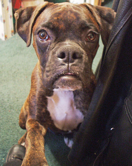 Buster the Boxer Pictures 1046117