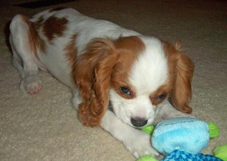 Buster the Cavalier King Charles Spaniel Pictures 975935