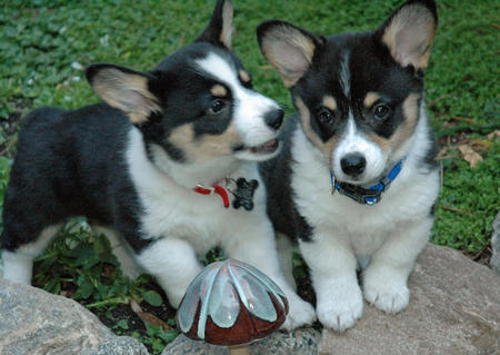 Buster the Corgi Pictures 477232