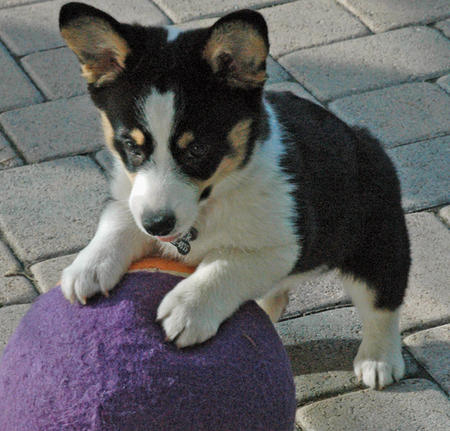 Buster the Corgi Pictures 477233