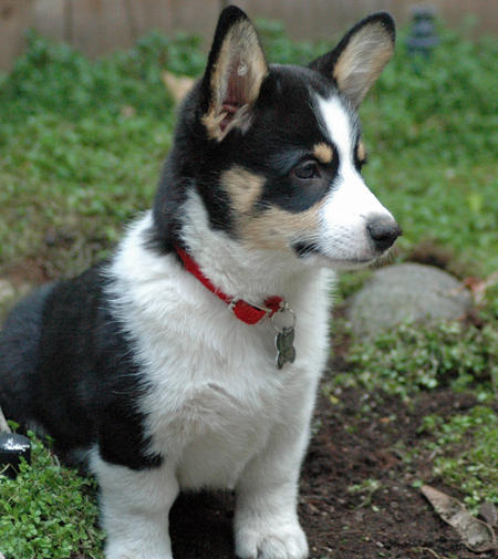 Buster the Corgi Pictures 477234