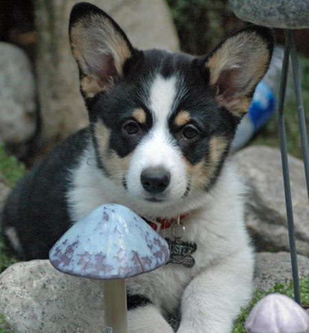 Buster the Corgi Pictures 477237