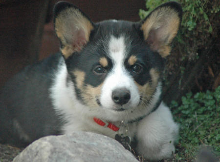 Buster the Corgi Pictures 477238