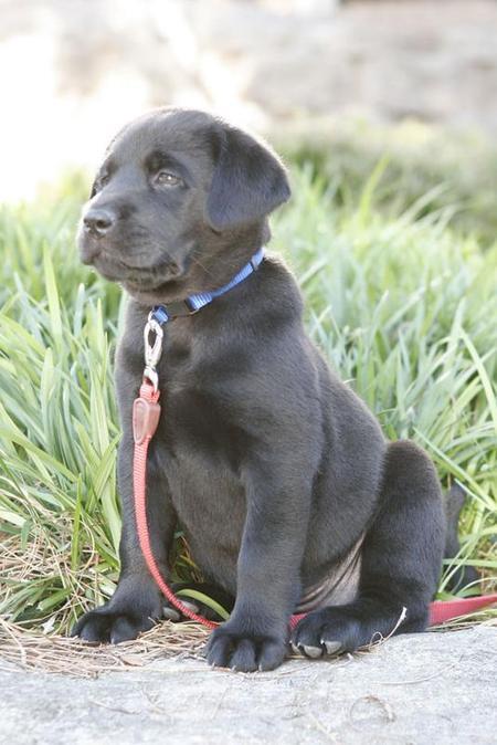 Buster the Labrador Retriever Pictures 753555