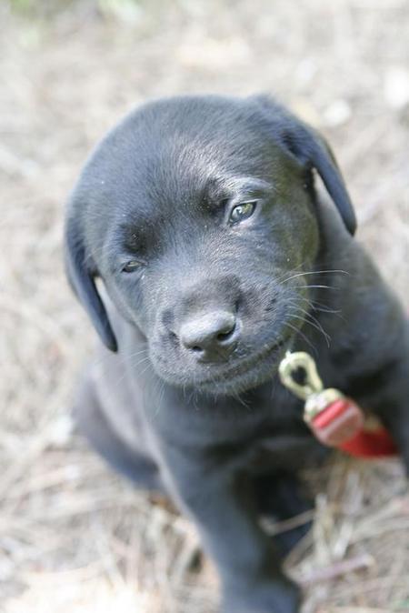 Buster the Labrador Retriever Pictures 753563