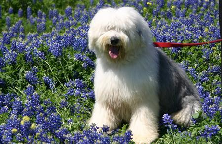 Buster the Old English Sheepdog Pictures 1037884
