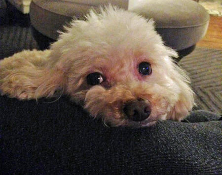 Butter the Toy Poodle Pictures 1034220