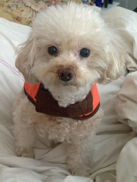 Butter the Toy Poodle Pictures 1034221