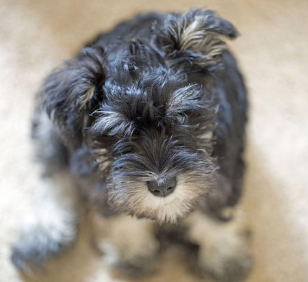 Buttercup the Miniature Schnauzer Pictures 1018878